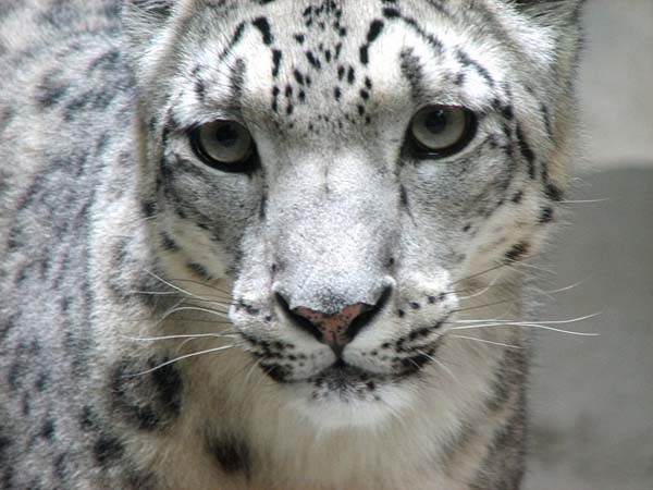 Wild Cat - Snow Leopard