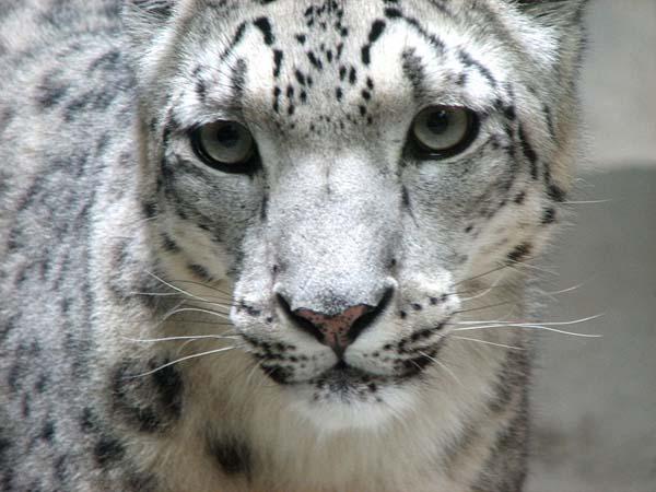 Wild Cat - Snow Leopard