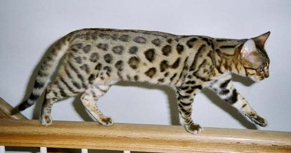 Bengal Cat photo