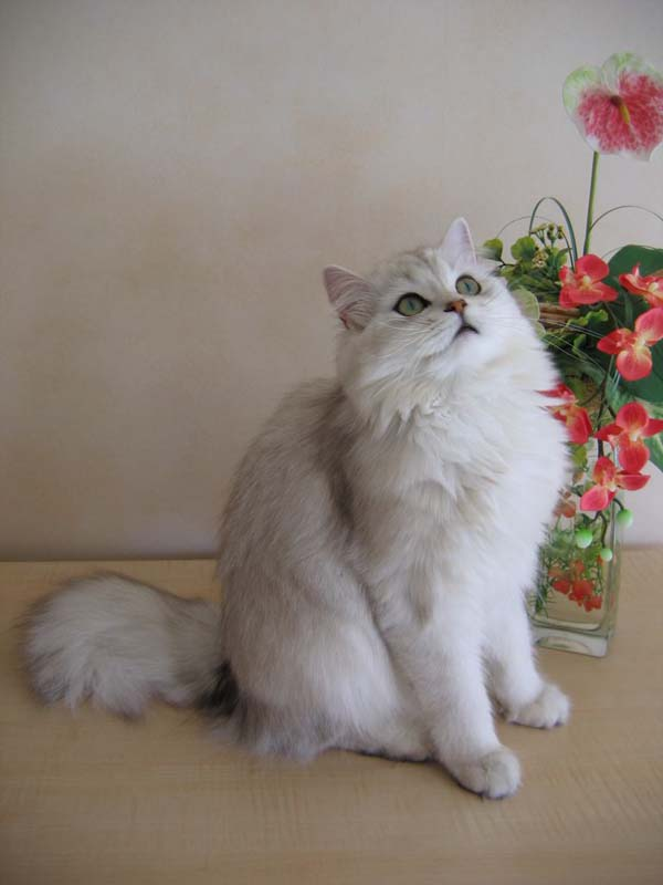 British Longhair Cat photo
