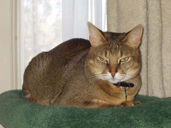 Chausie Cat photo