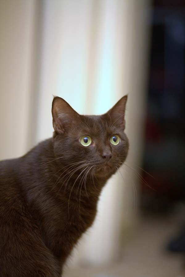 Havana Brown Cat photo