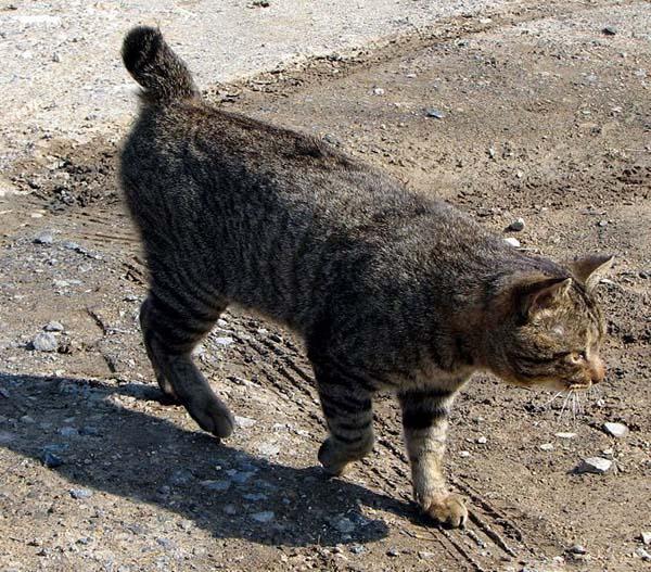 Japanese Bobtail Cat photo
