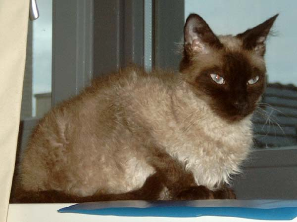 LaPerm Cat photo