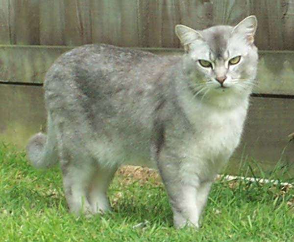 Burmilla Cat photo