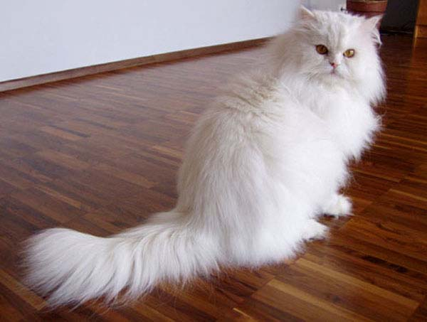 Persian Cat photo