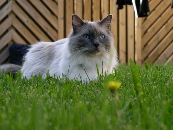 Ragdoll Cat photo