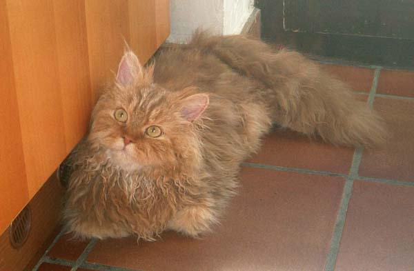 Selkirk Rex Cat