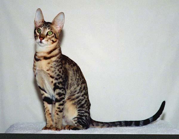 Serengeti Cat photo
