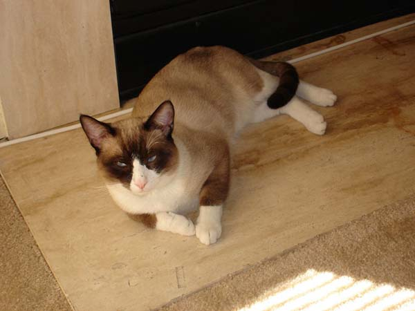 Snowshoe Cat photo