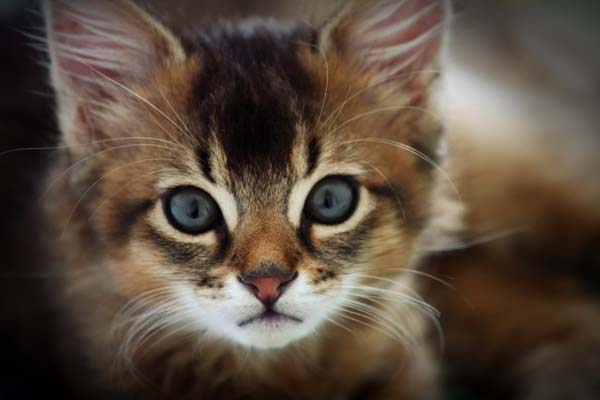 Somali Cat photo