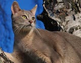 The Abyssinian cats have strong, powerful builds with legs that appear too lean for their bodies. This is because they are very well muscled. Their paws are small and oval shaped and their tails are...