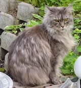 Maine Coon cats are large animals, with squared jaws and bright, round eyes. They have high cheekbones and large ears which have tufts on them. The Maine Coon's body is strong and muscular, as are...