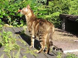 The Sokoke is a medium sized domestic cat breed that looks like an ocelot. It has a slender, well muscled body with a strong bone structure and moves differently to most domestic cats; its movements...