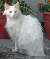 The Turkish Angora cat is one of the most elegant, graceful and well proportioned domestic cat breeds. Angoras are finely boned, yet muscular cats. Their legs are long with the hind legs being longer...