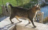The Egyptian Mau is a well proportioned cat which has a sleek body with a flap of skin over its stomach, and a rounded head. Its ears sit evenly on top and are well spaced and very large. The Mau's...