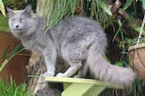 Nebelungs are sleek, silky blue cats that move swiftly and gracefully. The name