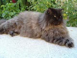 Persian cats have been around for thousands of years, and they are perhaps the most popular breed of cat. They have long, silky coats with large ruffs on the chest. The Persian's body is heavily...