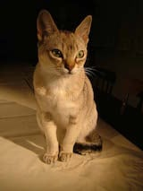 The Singapura is a small to medium-sized, shorthaired domestic cat breed. Adult males usually weigh 6-8 pounds while females 5-6 pounds. Singapura cats have muscular bodies, with strong legs and...