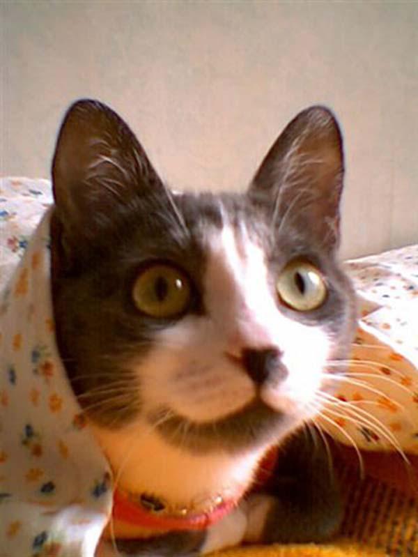 Brazilian Shorthair Cat photo