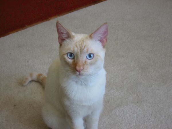 Colorpoint Shorthair Cat photo