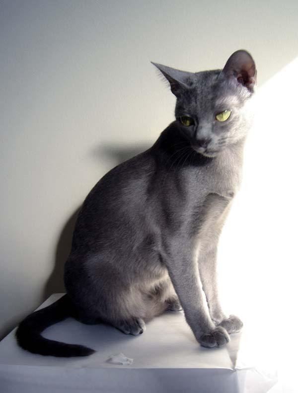 Korat Cat photo