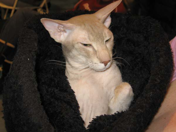 Peterbald Cat photo