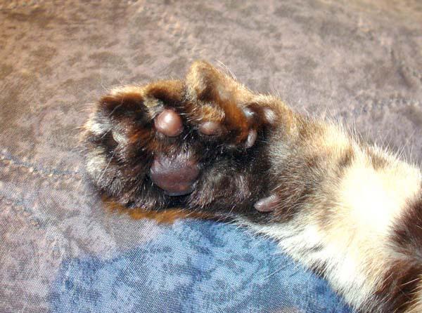 American Polydactyl Cat photo