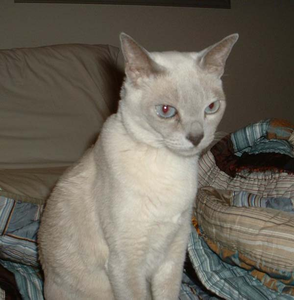 Tonkinese Cat photo