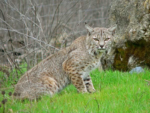 Bobcat | Lynx rufus photo