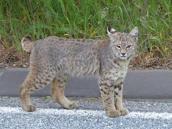 Iberian Lynx | Lynx pardinus photo