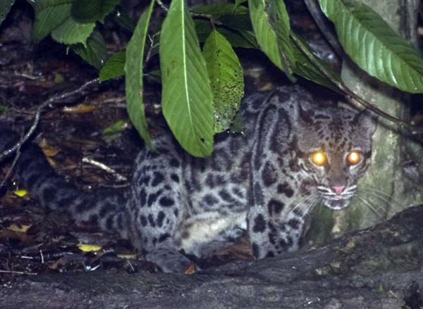 Bornean Clouded Leopard (Neofelis diardi)