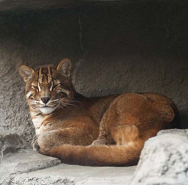 Asian Golden Cat | Catopuma temminckii photo