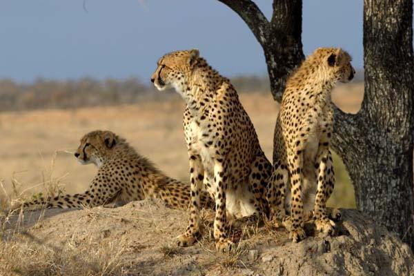Cheetah | Acinonyx jubatus photo