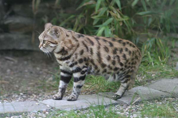 Black-footed Cat | Felis nigripes photo