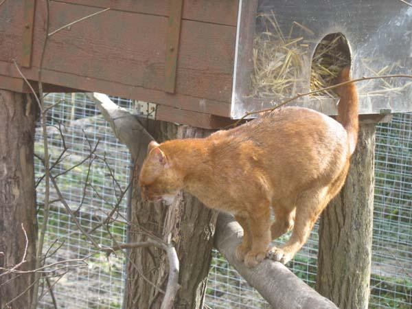 Cougar | Puma concolor photo
