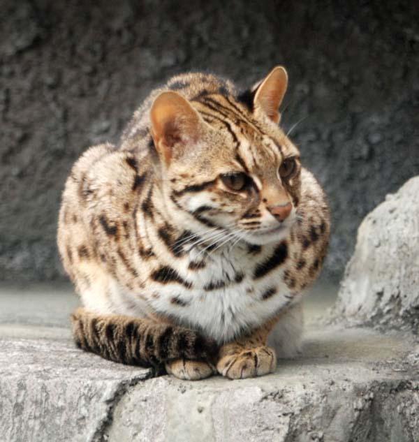 Leopard Cat | Prionailurus bengalensis photo