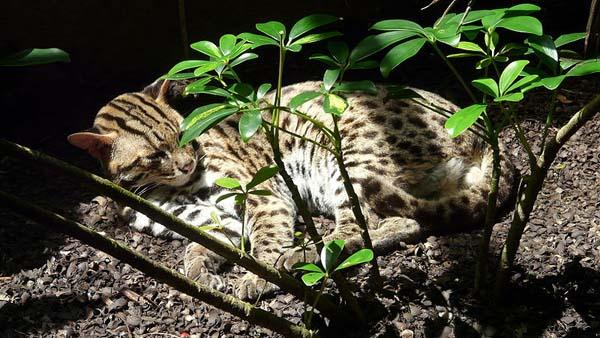 Fishing Cat | Prionailurus viverrinus photo