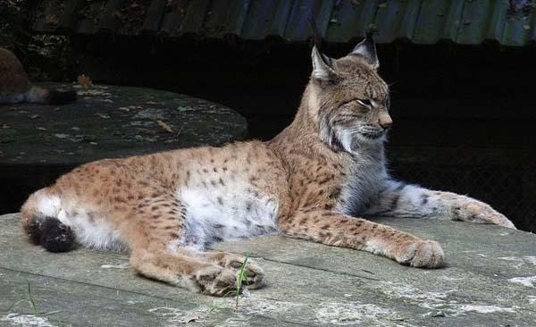 Eurasian Lynx | Lynx lynx photo
