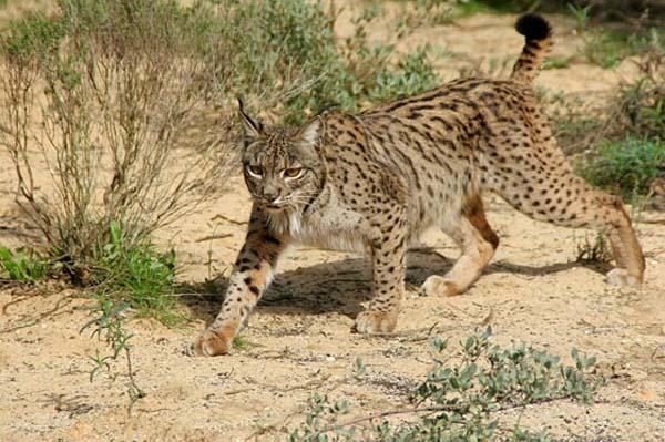 Iberian Lynx (Lynx pardinus)
