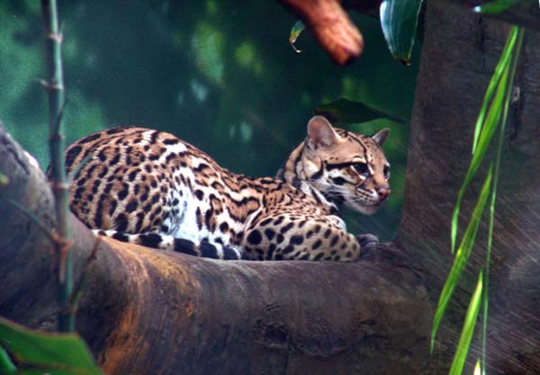 Margay | Leopardus weidii photo
