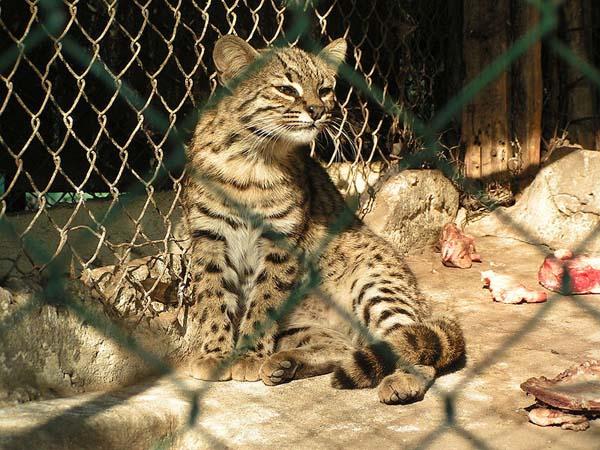 Geoffroy's Cat (Leopardus geoffroyi)