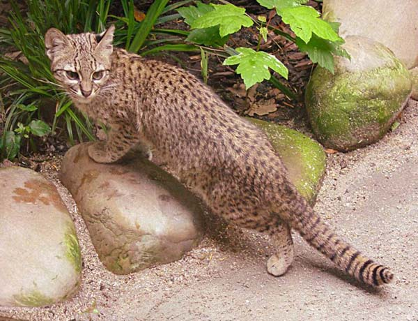 Margay (Leopardus weidii)