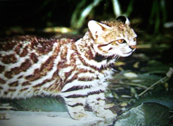 Pampas cat | Leopardus pajeros photo