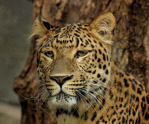Tiger | Panthera tigris photo