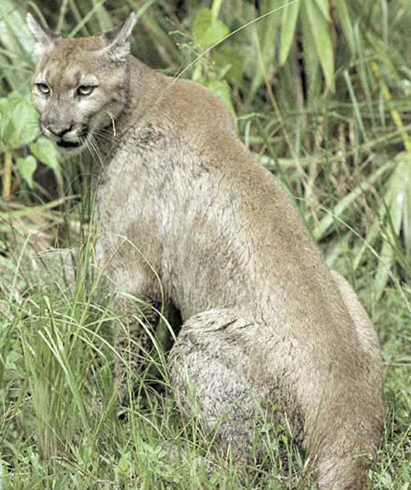 Jaguarundi (Puma yagouaroundi)