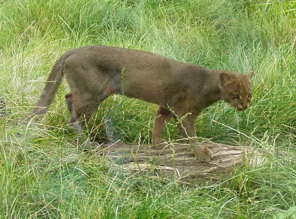 Jaguarundi | Puma yagouaroundi photo