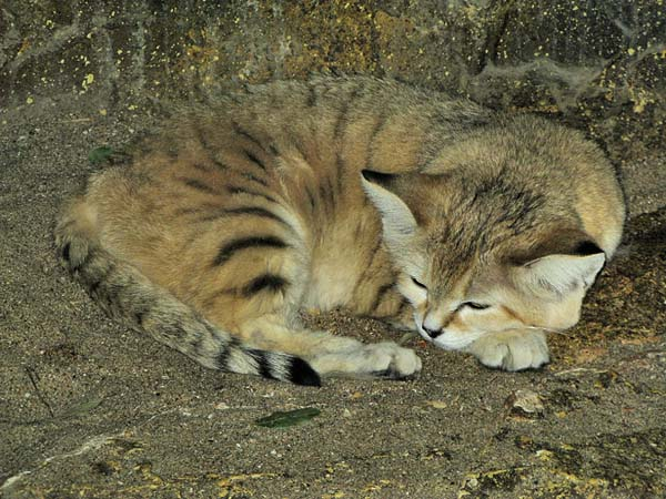 Wildcat | Felis silvestris photo
