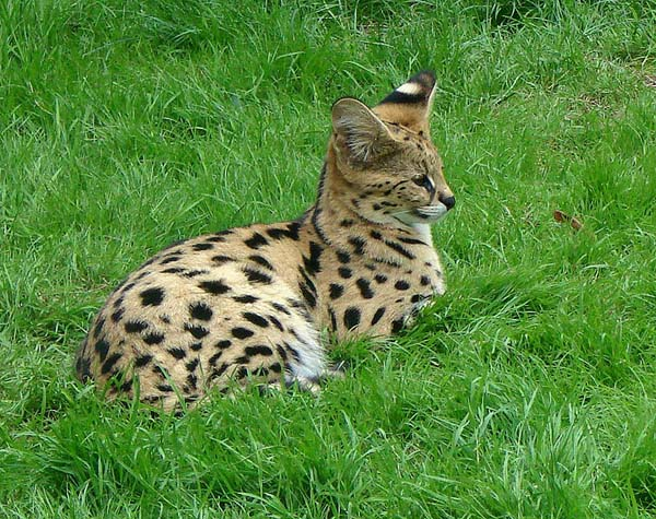 Serval | Leptailurus serval photo