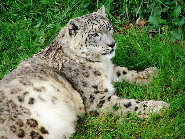 Snow Leopard | Uncia uncia photo